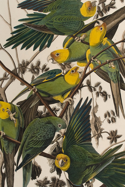 John James Audubon American Carolina Parrot or Parrakeet, 1859 Third octavo edition Hand-colored lithograph Museum purchase with funds provided by The Louise Hauss Miller Endowment