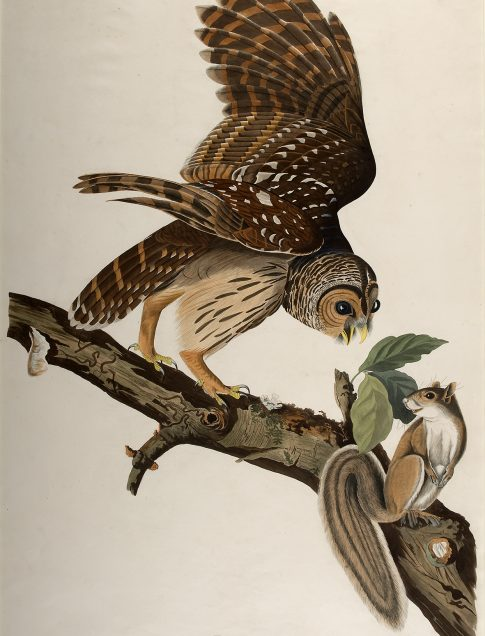 John James Audubon (American, 1785–1851) Barred Owl, Plate 36 The Birds of America, first octavo edition, Vol. I, 1840 Hand-colored lithograph Printed by J. T. Bowen, Philadelphia, 1840–1844 Jule Collins Smith Museum of Fine Art, Auburn University; the Sheila J. McCartney Collection 2011.28.06