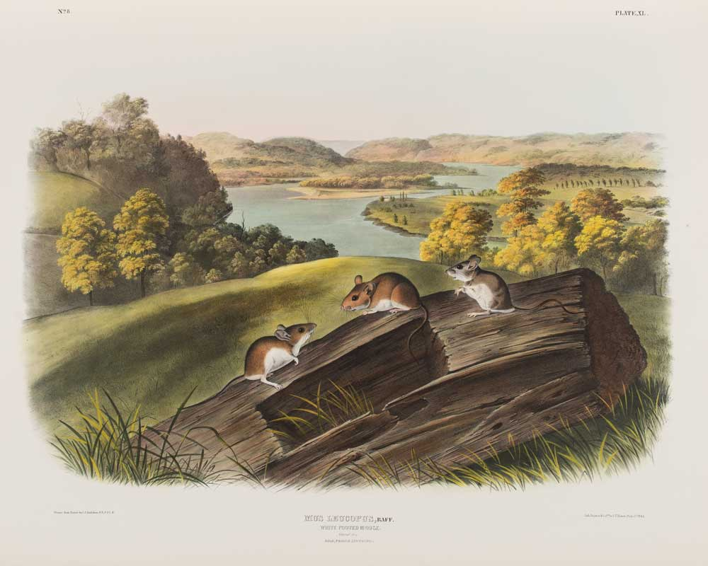 Three white footed mice scurry along a log near a river.