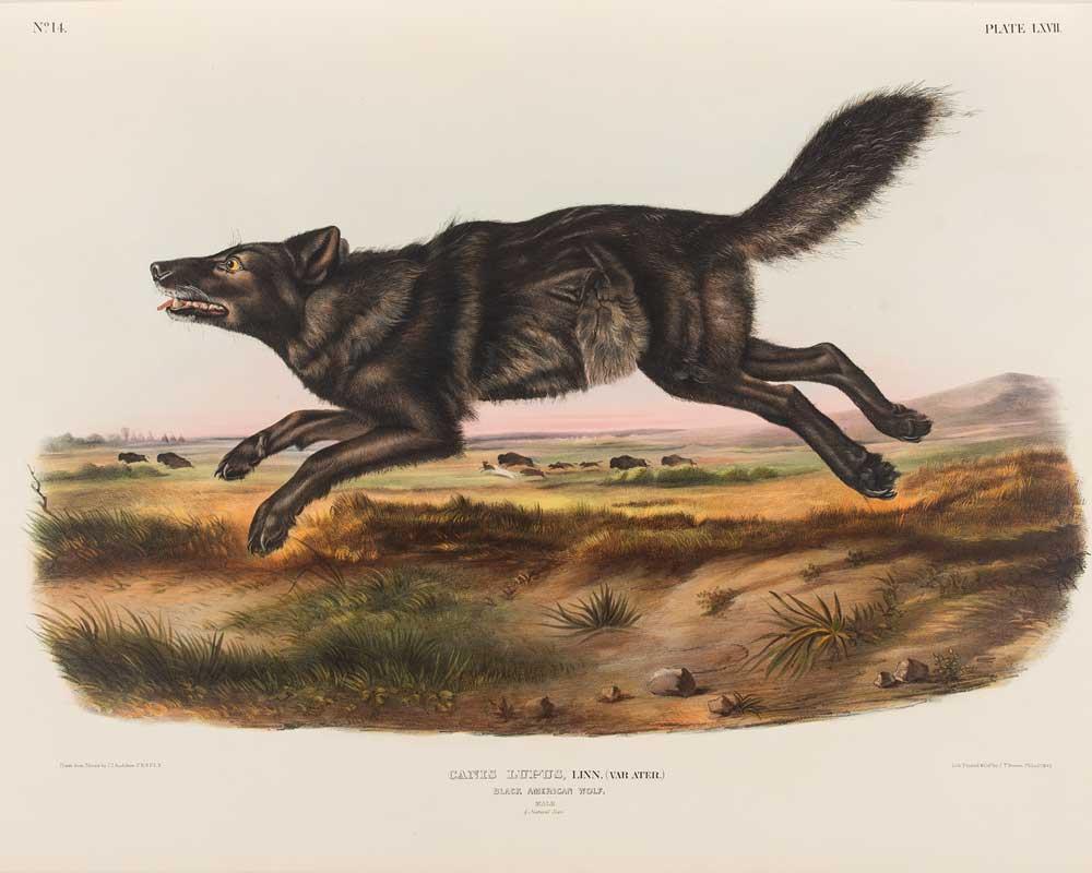 A wolf leaps across the landscape.