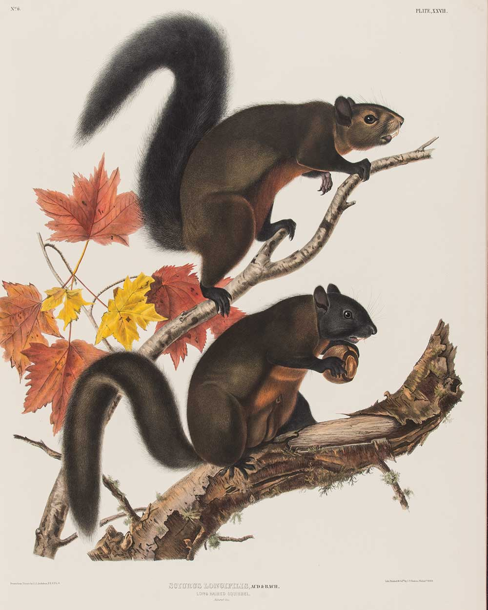 Two long-haired squirrels on a branch.