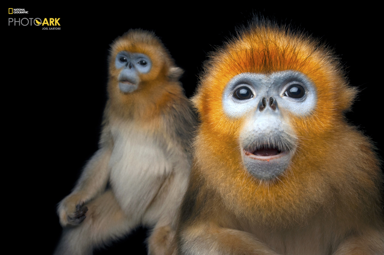 © Photo by Joel Sartore/National Geographic Photo Ark Two Golden snub-nosed monkeys, Rhinopithecus roxellana, at Ocean Park Hong Kong.