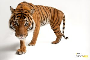 © Photo by Joel Sartore/National Geographic Photo Ark. An endangered Malayan tiger, Panthera tigris jacksoni, at Omaha Henry Doorly Zoo.