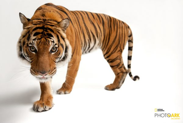 © Photo by Joel Sartore/National Geographic Photo Ark. An endangered Malayan tiger, Panthera tigris jacksoni, at Omaha Henry Doorly Zoo.