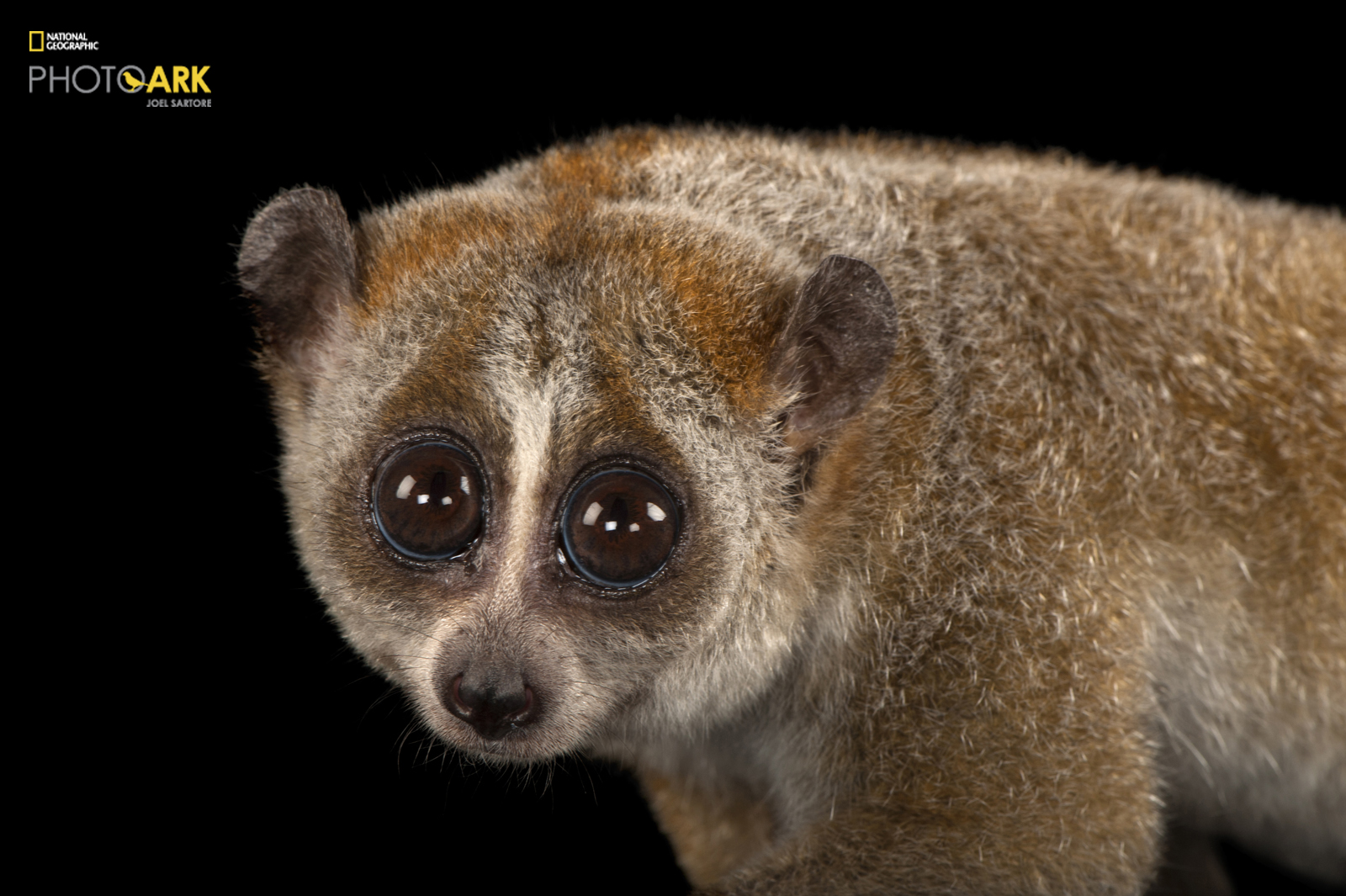 © Photo by Joel Sartore/National Geographic Photo Ark A pygmy slow loris, Nycticebus pygmaeus, at Omaha's Henry Doorly Zoo and Aquarium.