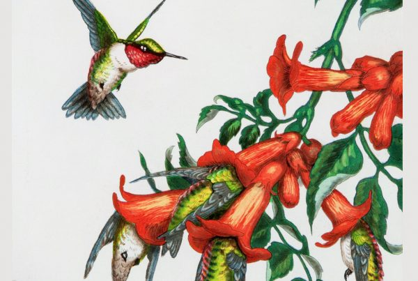 A ruby-throated hummingbird approaches a cluster of blossoms, with other hummingbirds trapped in the blooms.