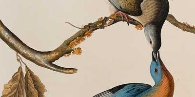 John James Audubon Passenger Pigeon, 1829 Hand-colored etching, aquatint, and line engraving The Louise Hauss and David Brent Miller Audubon Collection 1992.1.1.54