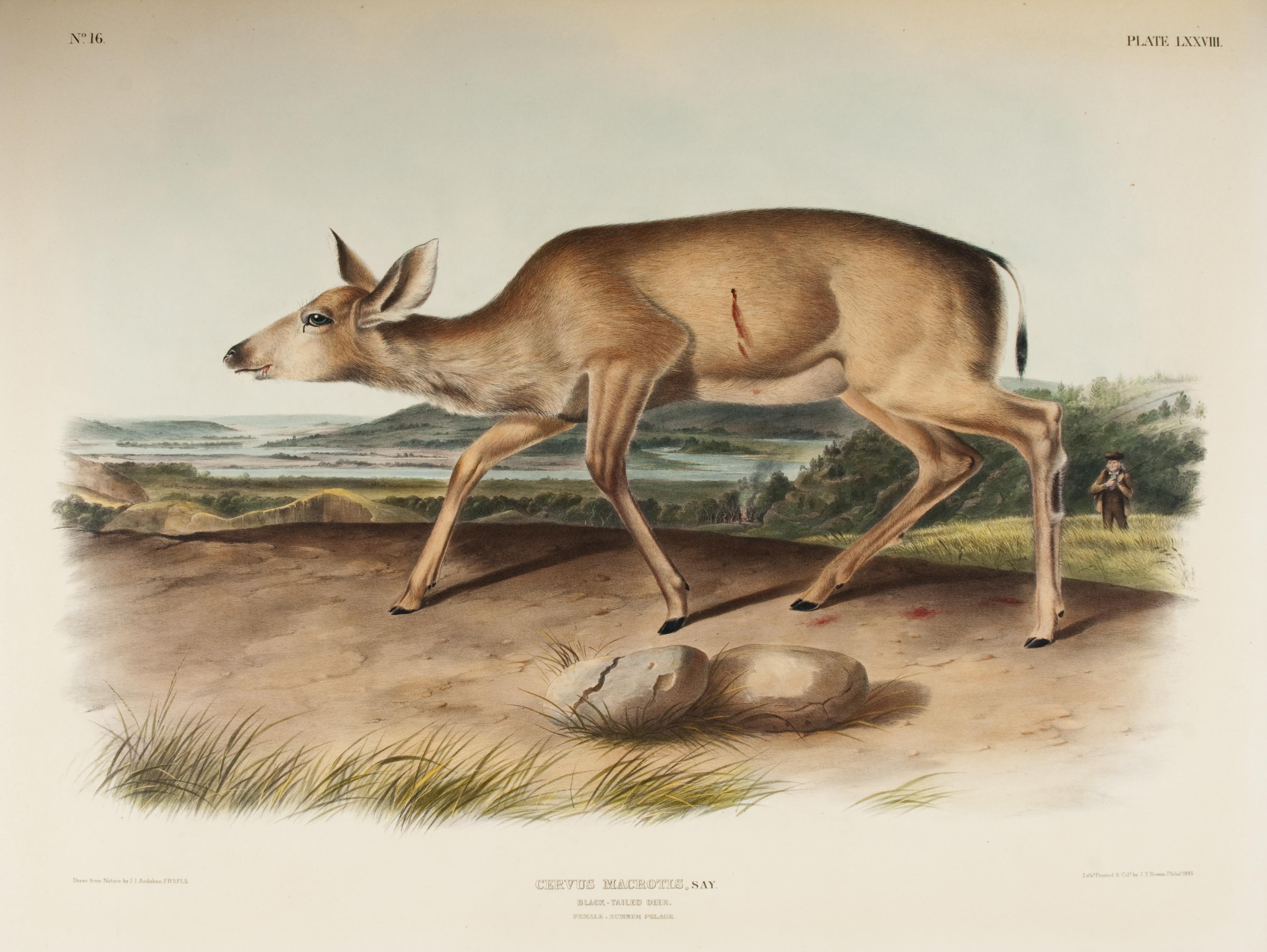 A deer in a woodland landscape.