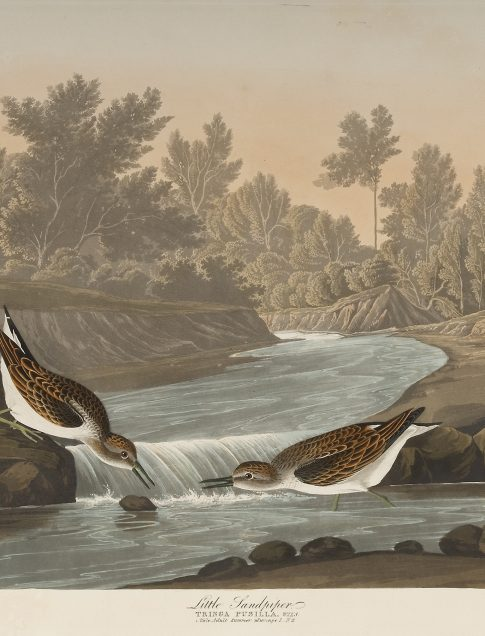 John James Audubon (American, 1785–1851) Little Sandpiper, Plate CCCXX The Birds of America, first edition, Vol. IV, 1836 Hand-colored etching, aquatint, and line engraving Printed by R. Havell and Son, London, 1827–38 Jule Collins Smith Museum of Fine Art, Auburn University; Louise Hauss and David Brent Miller Audubon Collection 1992.1.1.44