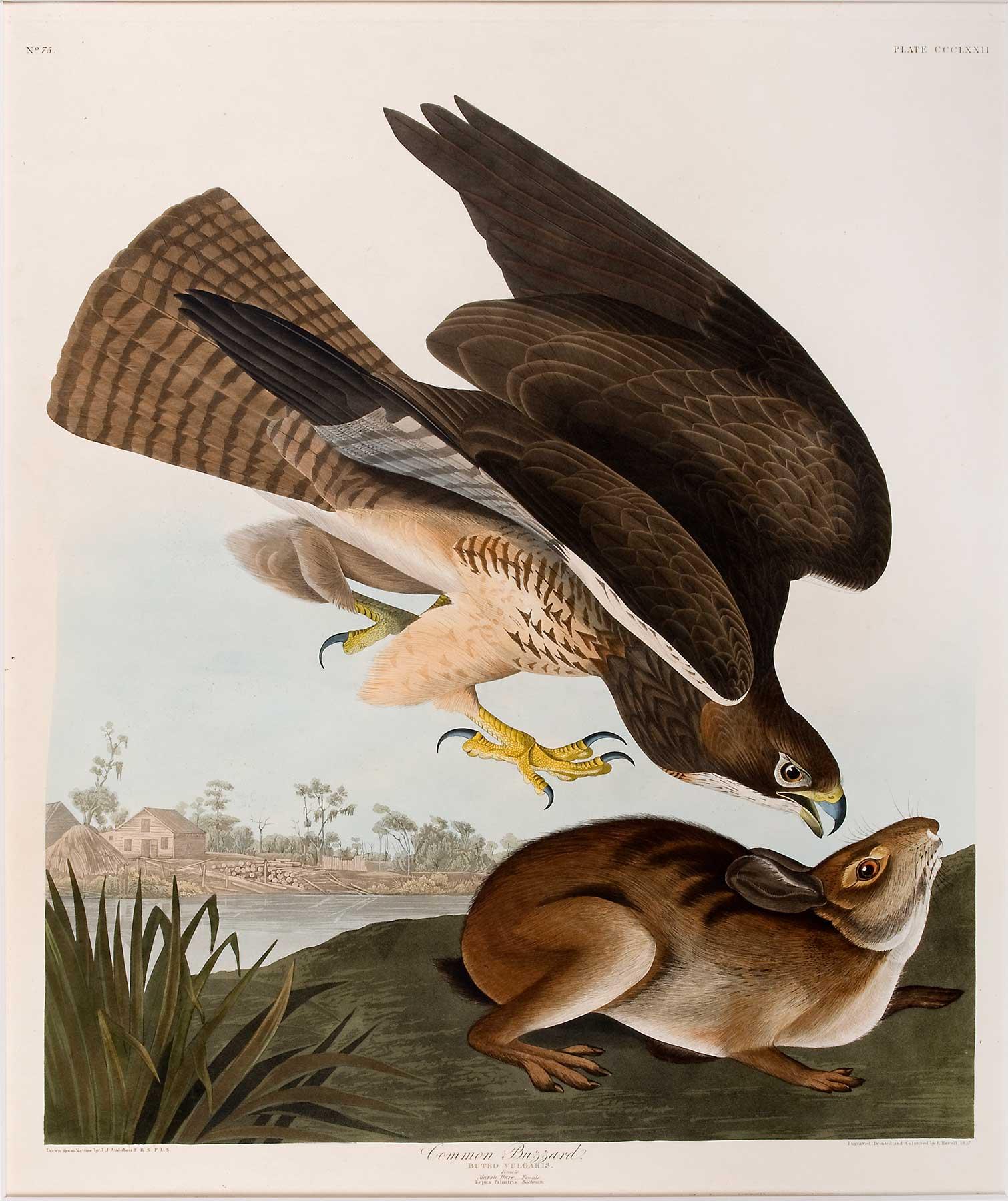 A buzzard descends upon a hare.