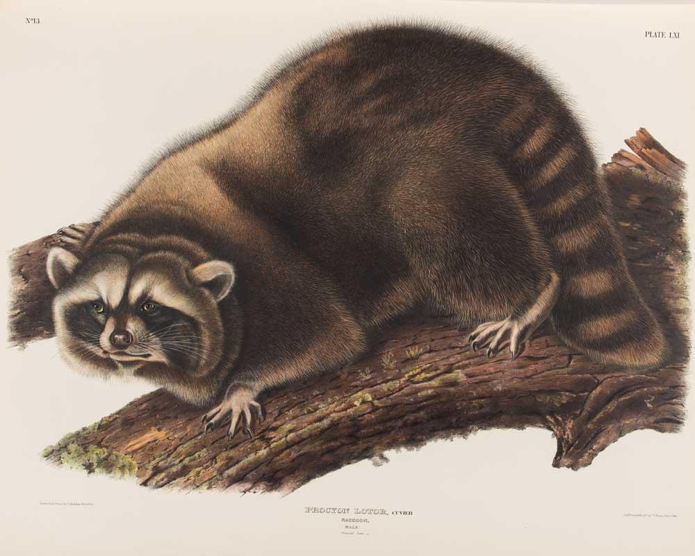 A raccoon crouches on a log.