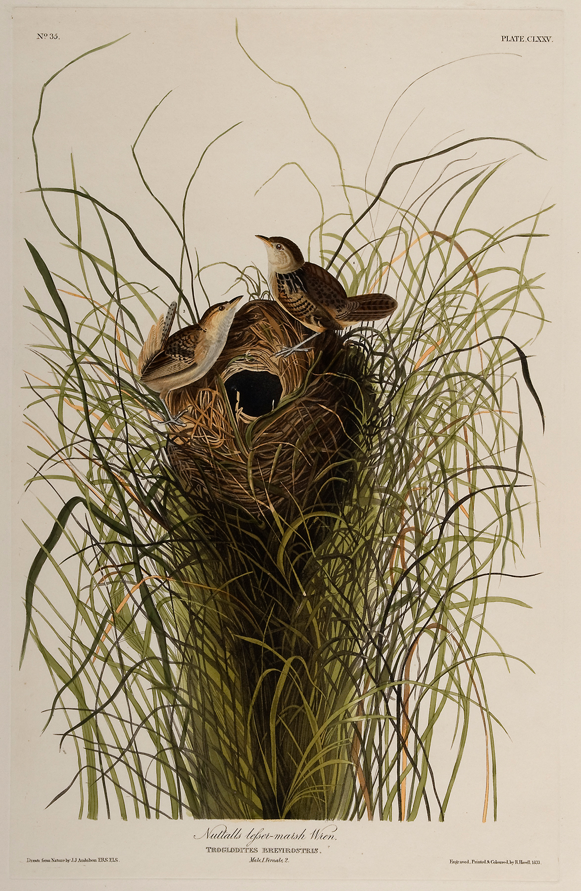 Two wrens build a nest.