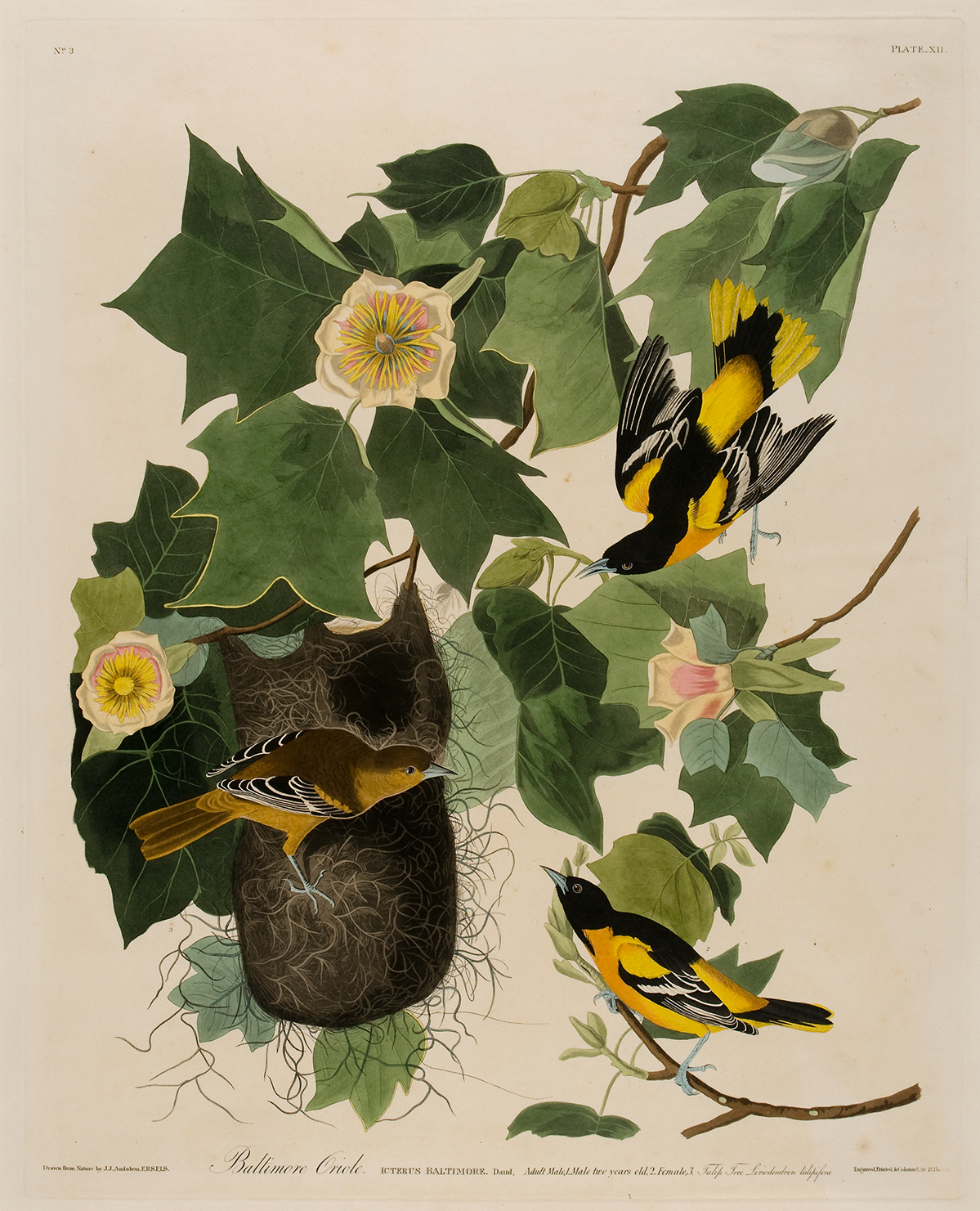 An oriole tends to a nest.